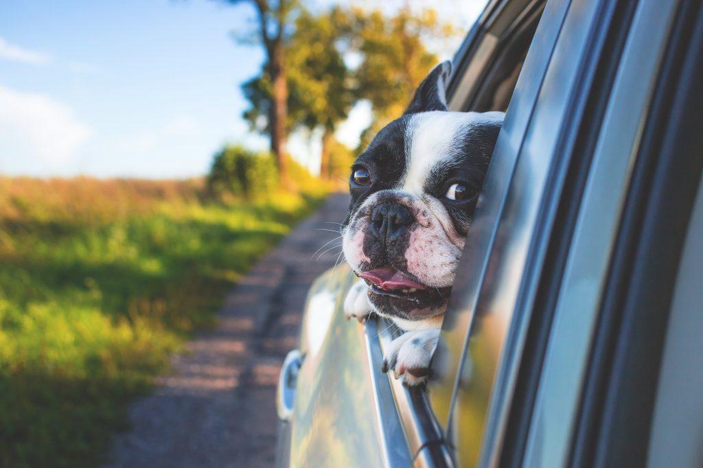 Dog Car Ride